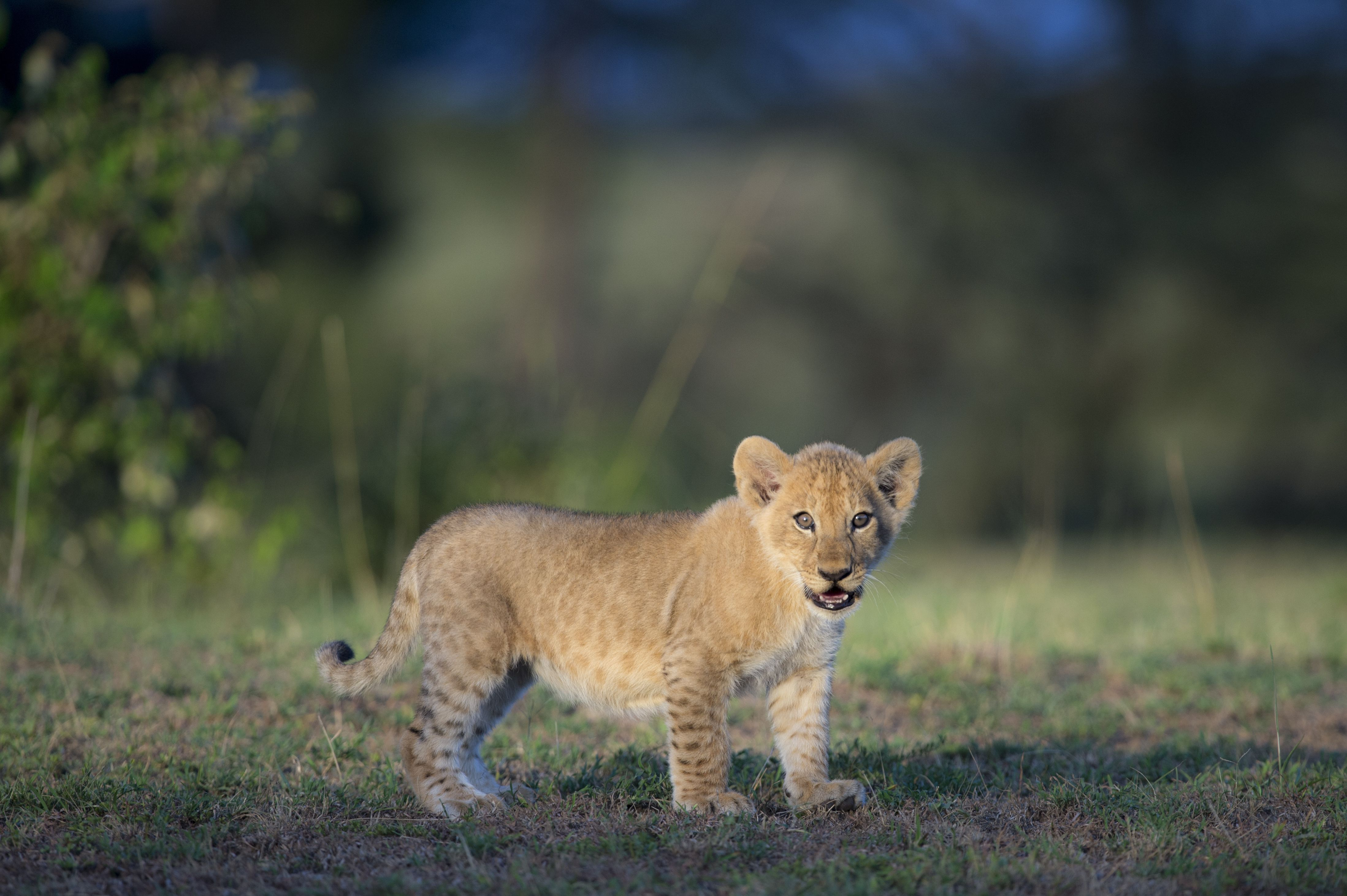 Lion cubs are spotted.