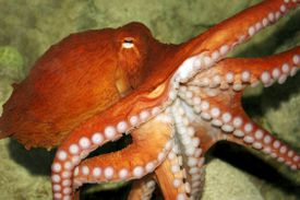 A close up of a red octopus