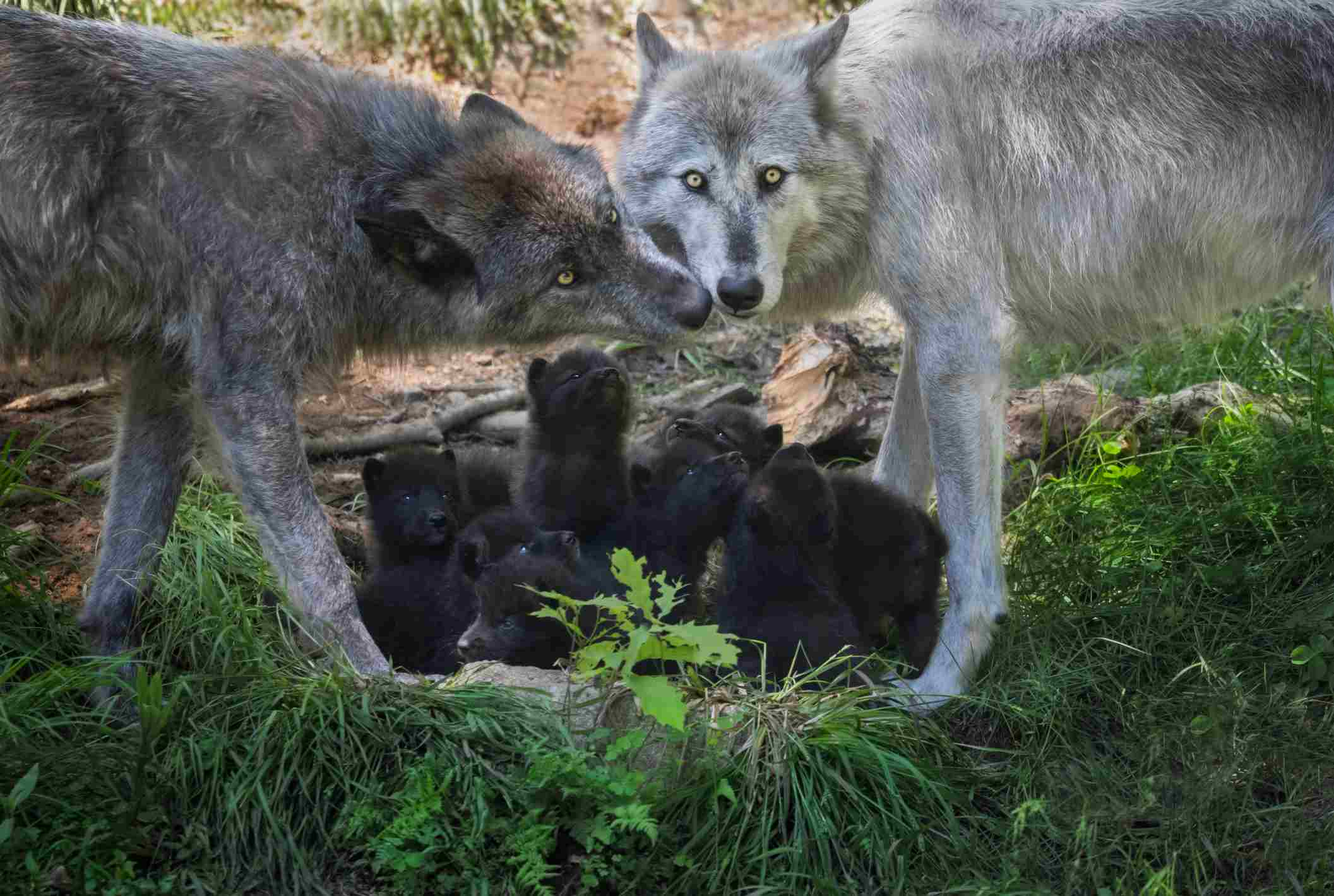 Black Wolf family with newborn pups, Canada