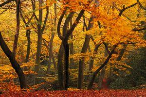 Beechwood in autumn at Burnham Beeches.