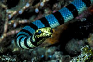 Banded sea snake, Laticauda colubrina.