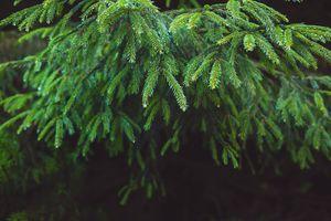 Close-up of fir tree