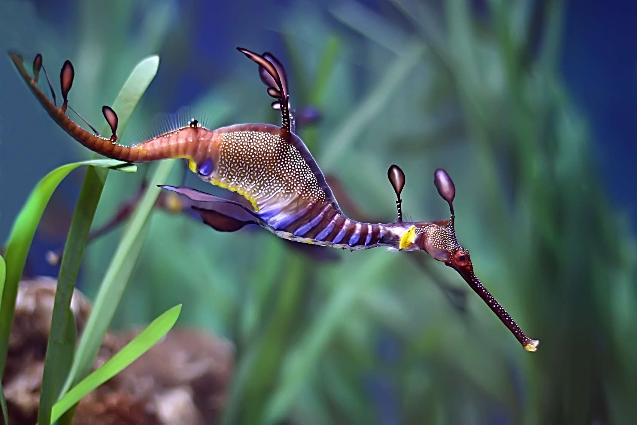 Sea Dragon Facts Diet Habitat Reproduction