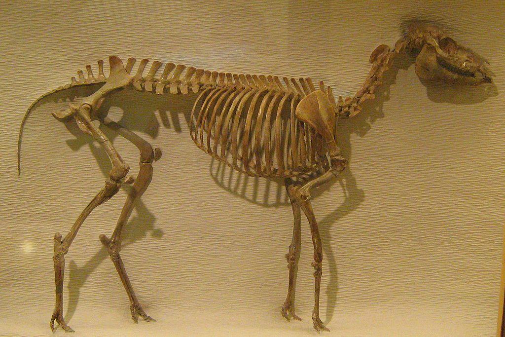 Mesohippus skeleton at a museum