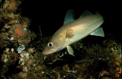 Atlantic Cod Information and Facts