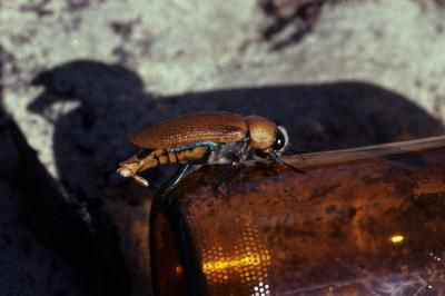 """A male Australian jewel beetle attempts to mate with a """"stubby"""" beer bottle."""