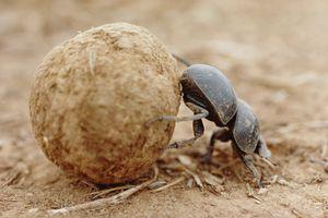 Dung beetle (Scarabaeus sacer) rolling dung ball, close-up