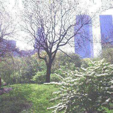 Royal Paulownia in Central Park