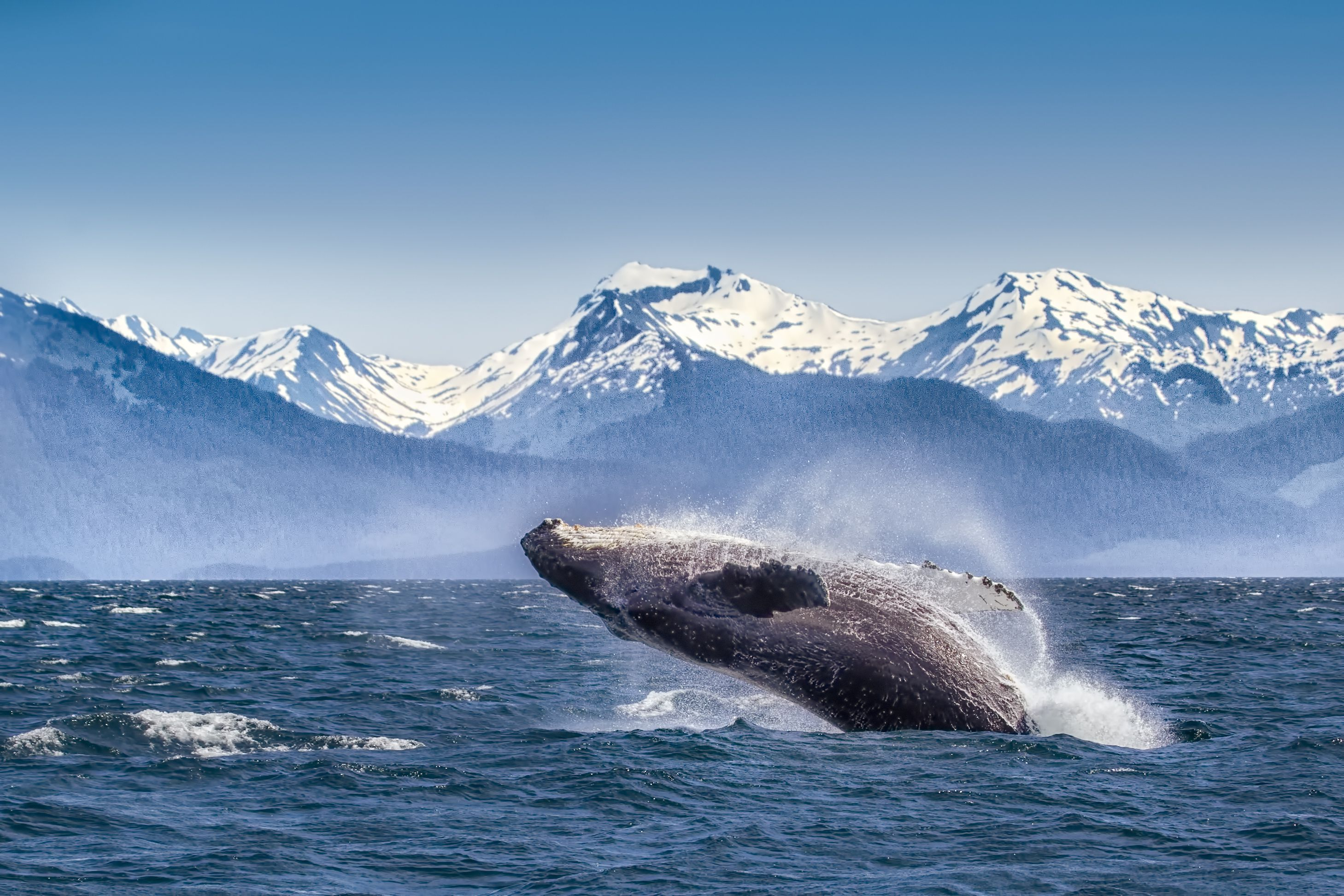 Whale jumping in the ocean with snowy mountains in the background.