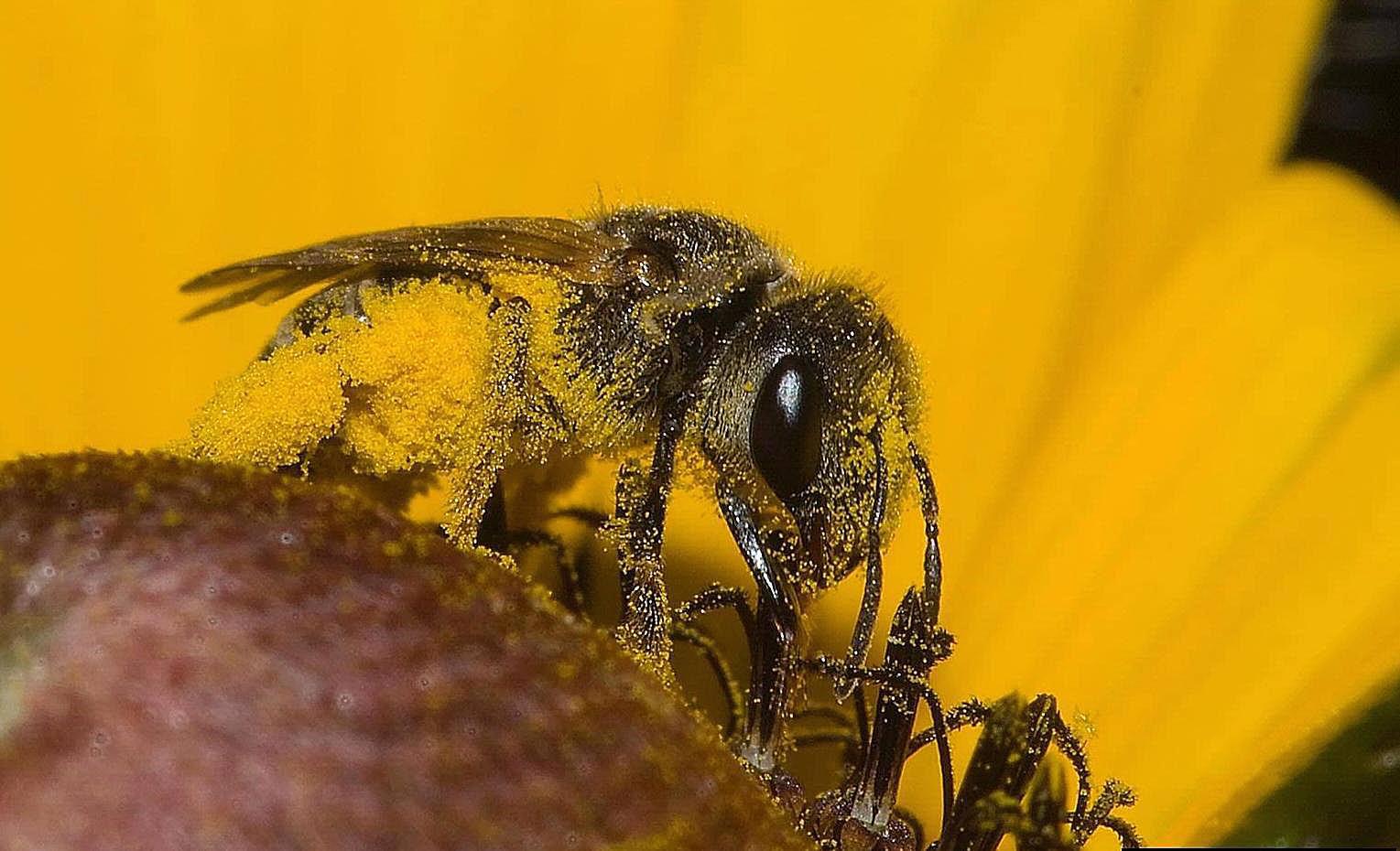 Digger bee.