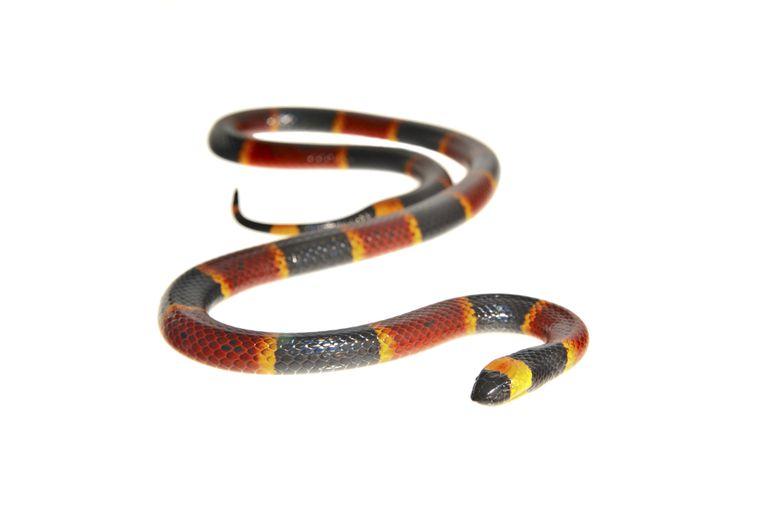 Image result for coral snake