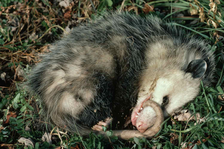 Virginia Opossum Plays Dead