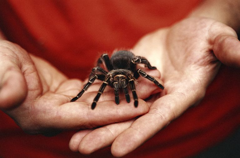 Tarantula in man's hands.