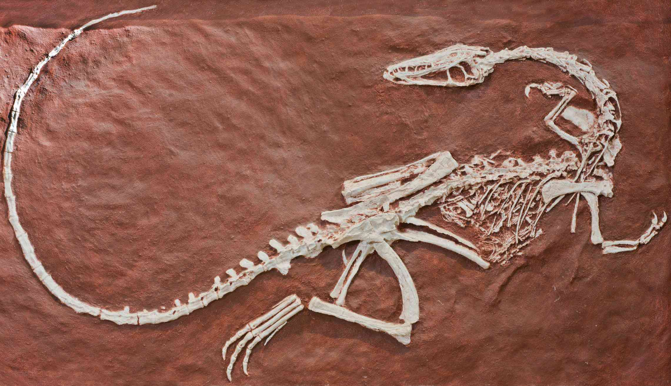 Fossil of the dinosaur Coelophysis