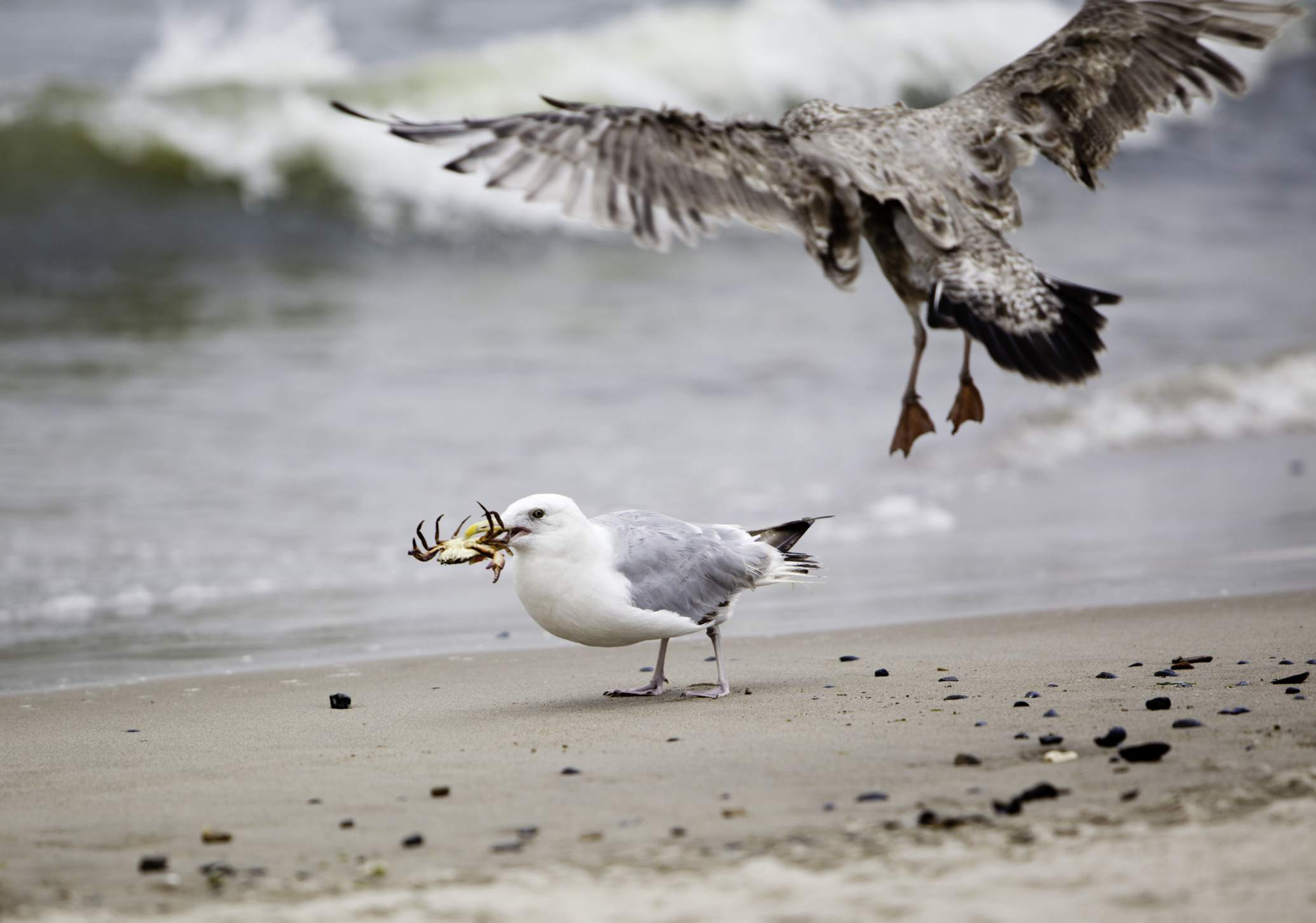 Gull on the beach with a crab in its beak with a second gull flying toward the first, ocean waves in soft focus in the background.