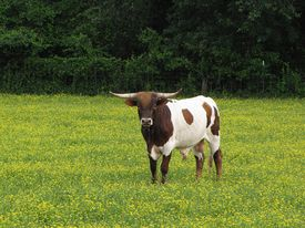 Bull with horns in field of buttercups.