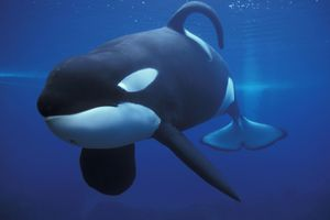 Keiko, the killer whale