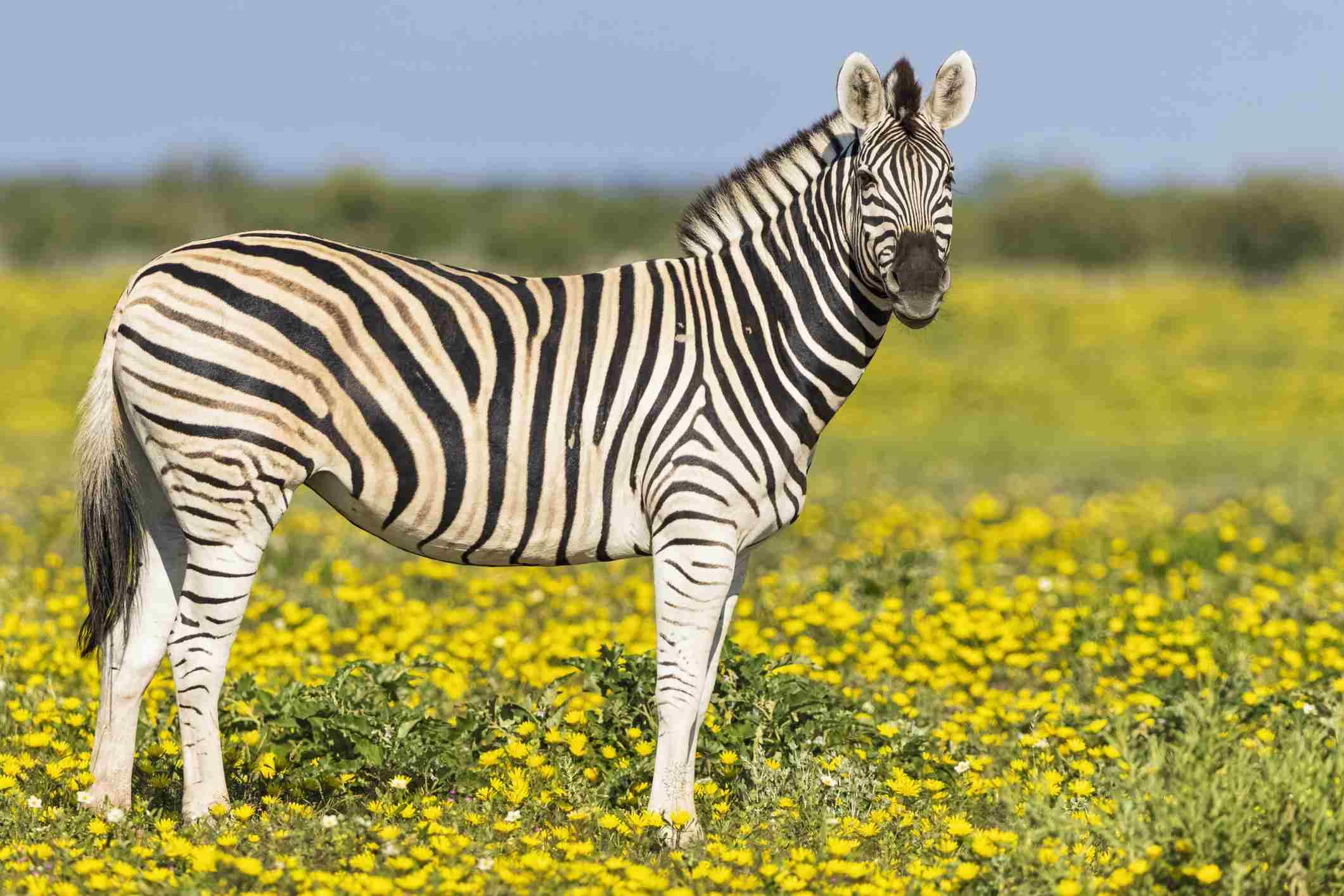 Burchells Zebras, Equus quagga burchelli, stehen auf gelber Blumenwiese