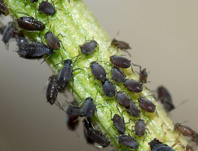 Christmas Tree Aphids.How To Get Rid Of Christmas Tree Insects
