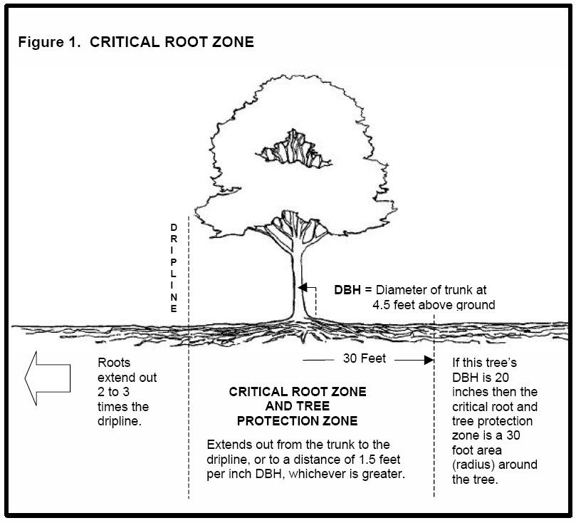 Critical Root Zone of a tree