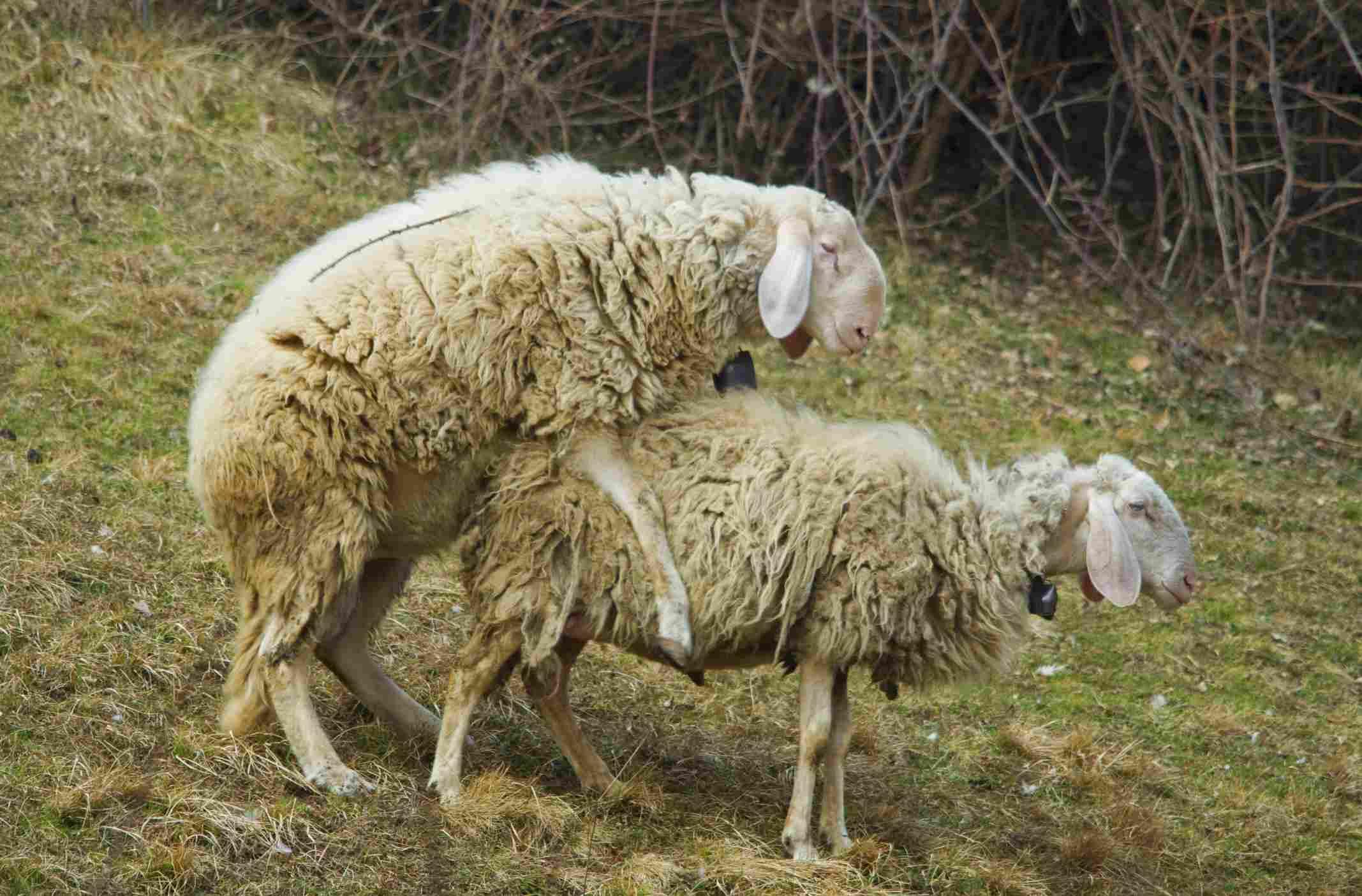 Sheep Mating