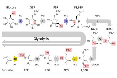Cellular respiration glycolysis citric acid cycle glycolysis the dissolution of sugar is carried out in the cytoplasm of cells ccuart Gallery