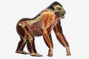 Illustration, anatomy of Gorilla (Gorilla gorilla)