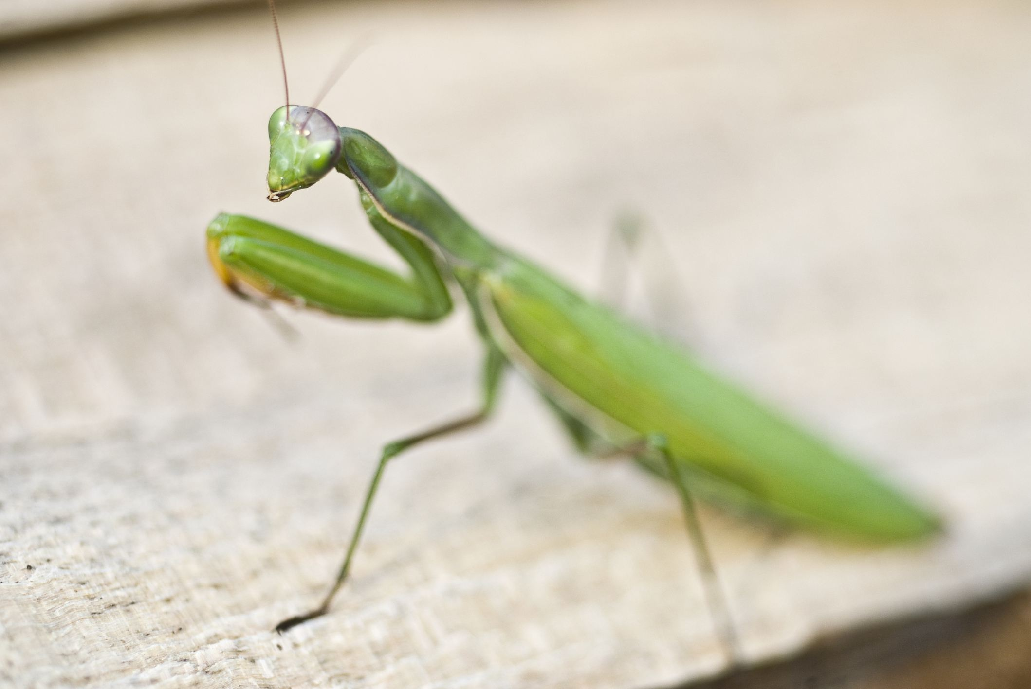 Praying mantis stands with arms ready to snare prey