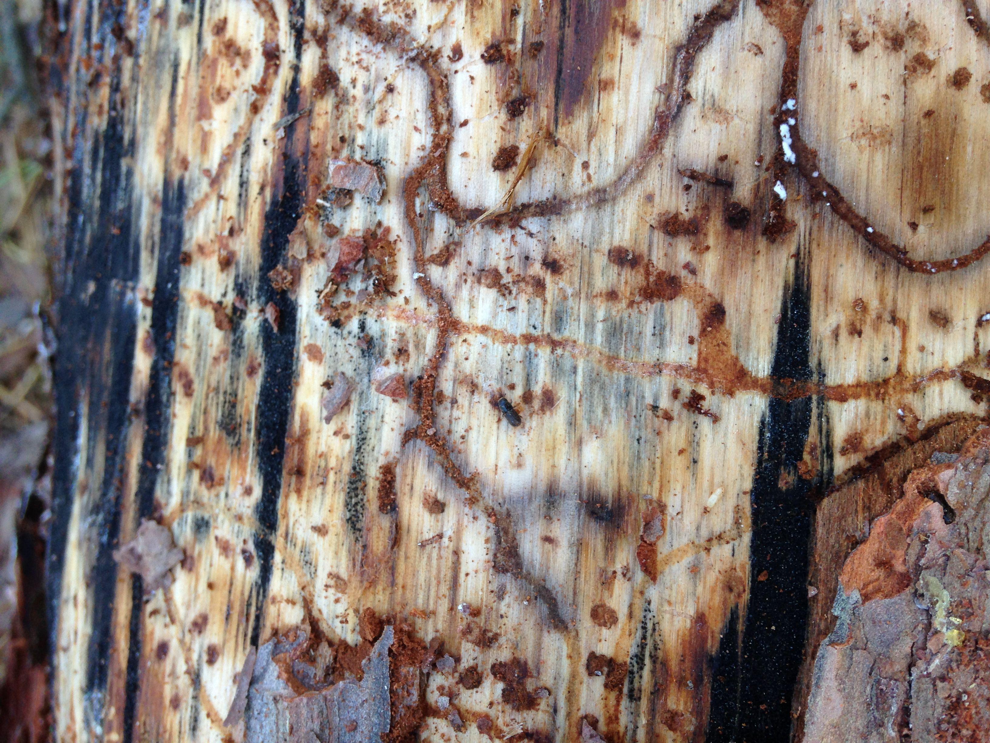southern pine beetle tree damage