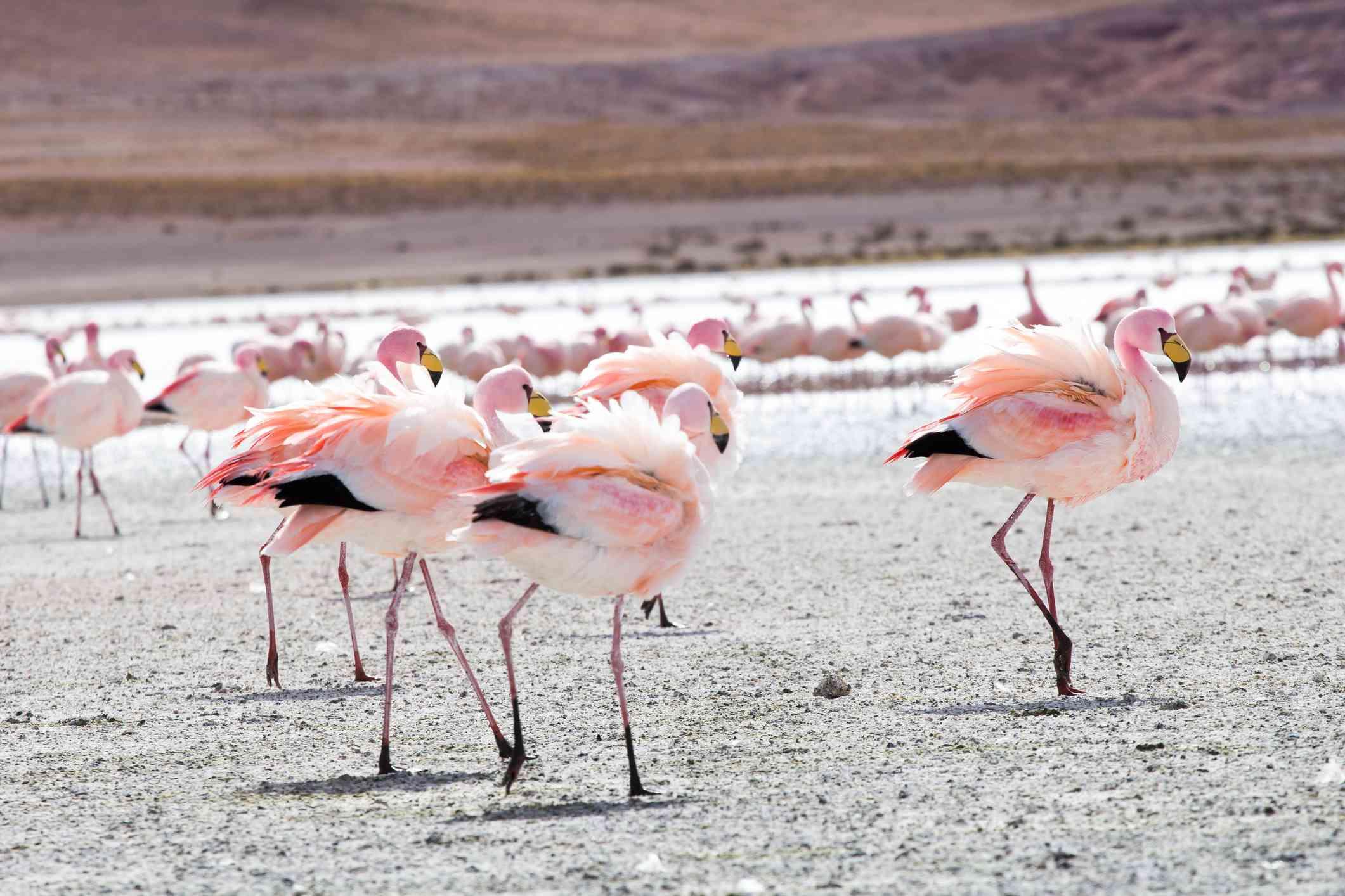 Flamingos am See in den Anden, im südlichen Teil Boliviens