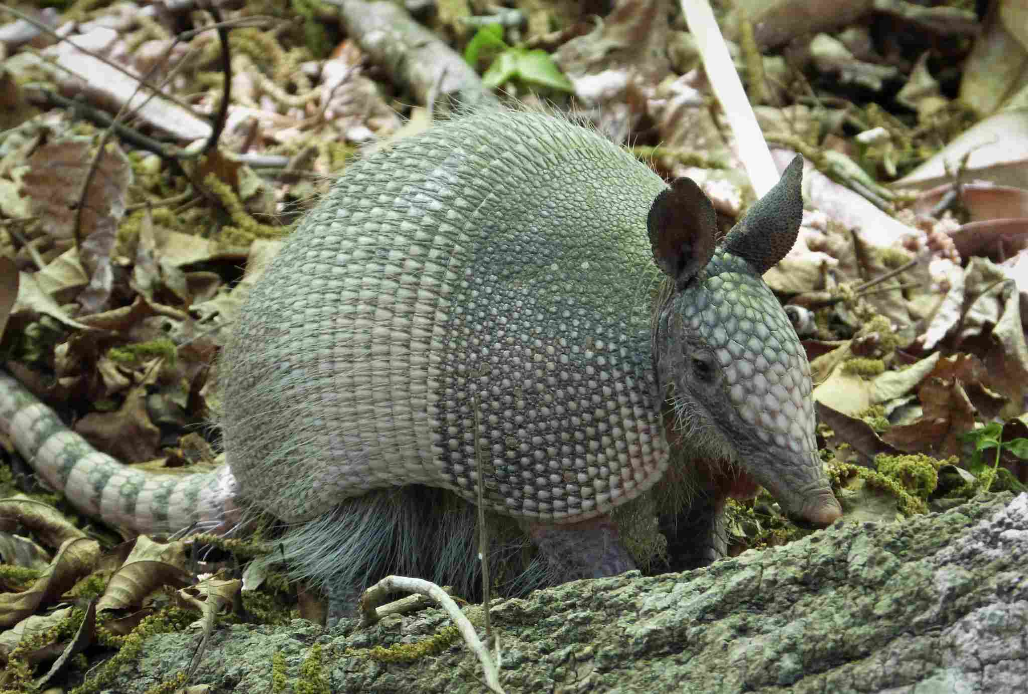 Armadillo in a wooded environment.