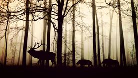 A large deer and two wild boards walk through the forest as silhouettes against a dawn sky.
