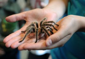 tarantula in hands
