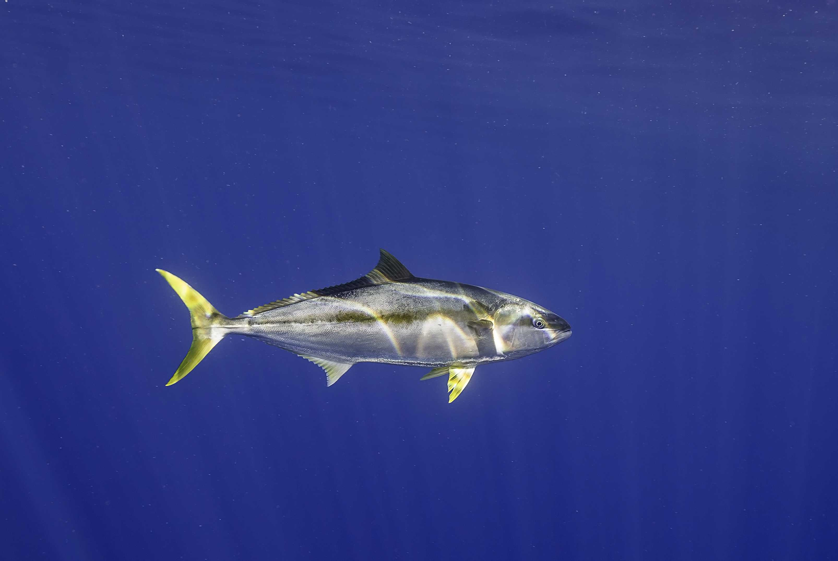 Yellow Tail Tuna in a blue ocean off the coast of mexico