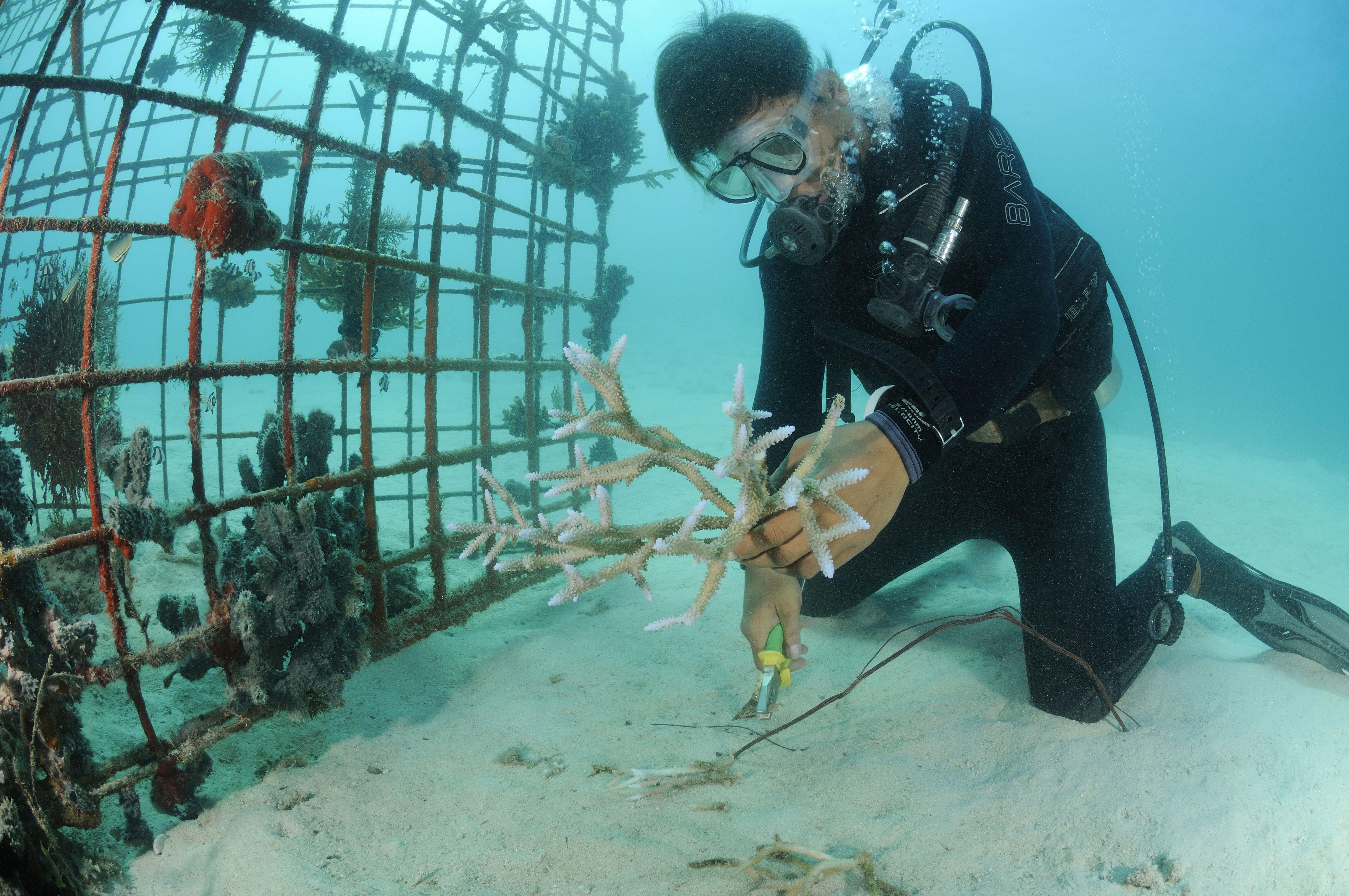 Reef gardener attaching corals to artificial reef, Pemuteran, Bali, Indonesia