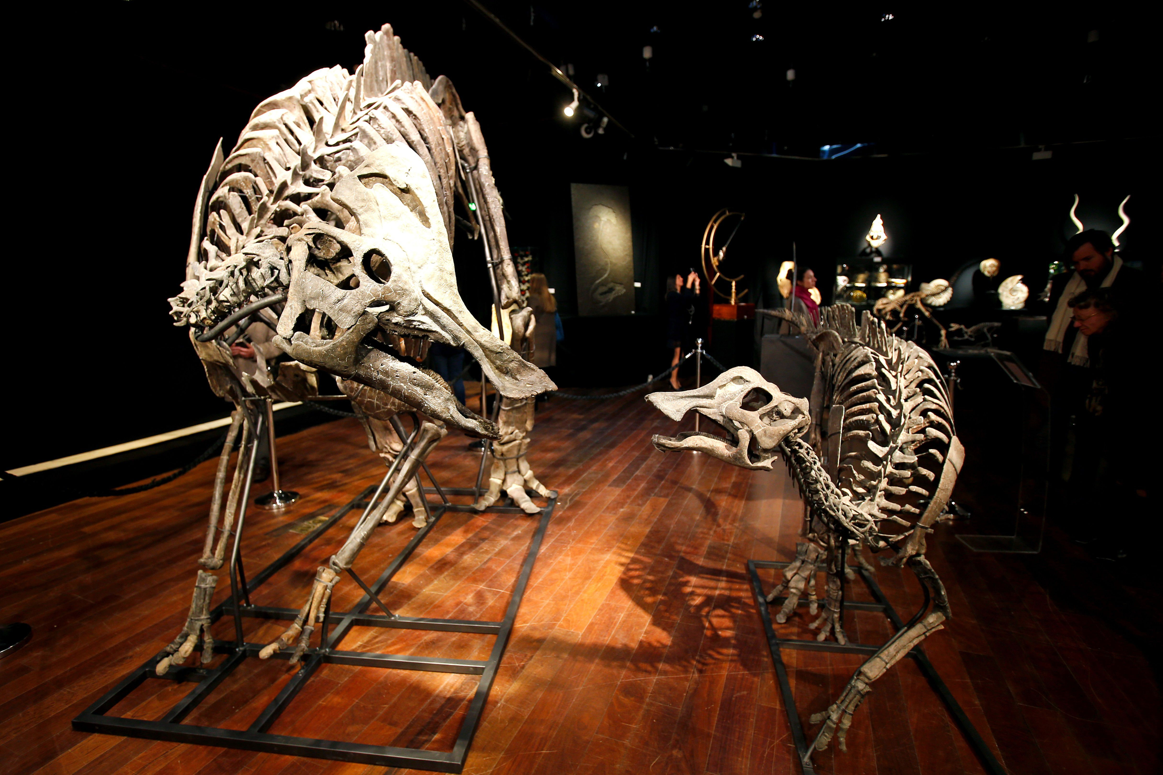 The skeletons of two duck-billed dinosaurs, Hypacrosaurus altispinosus