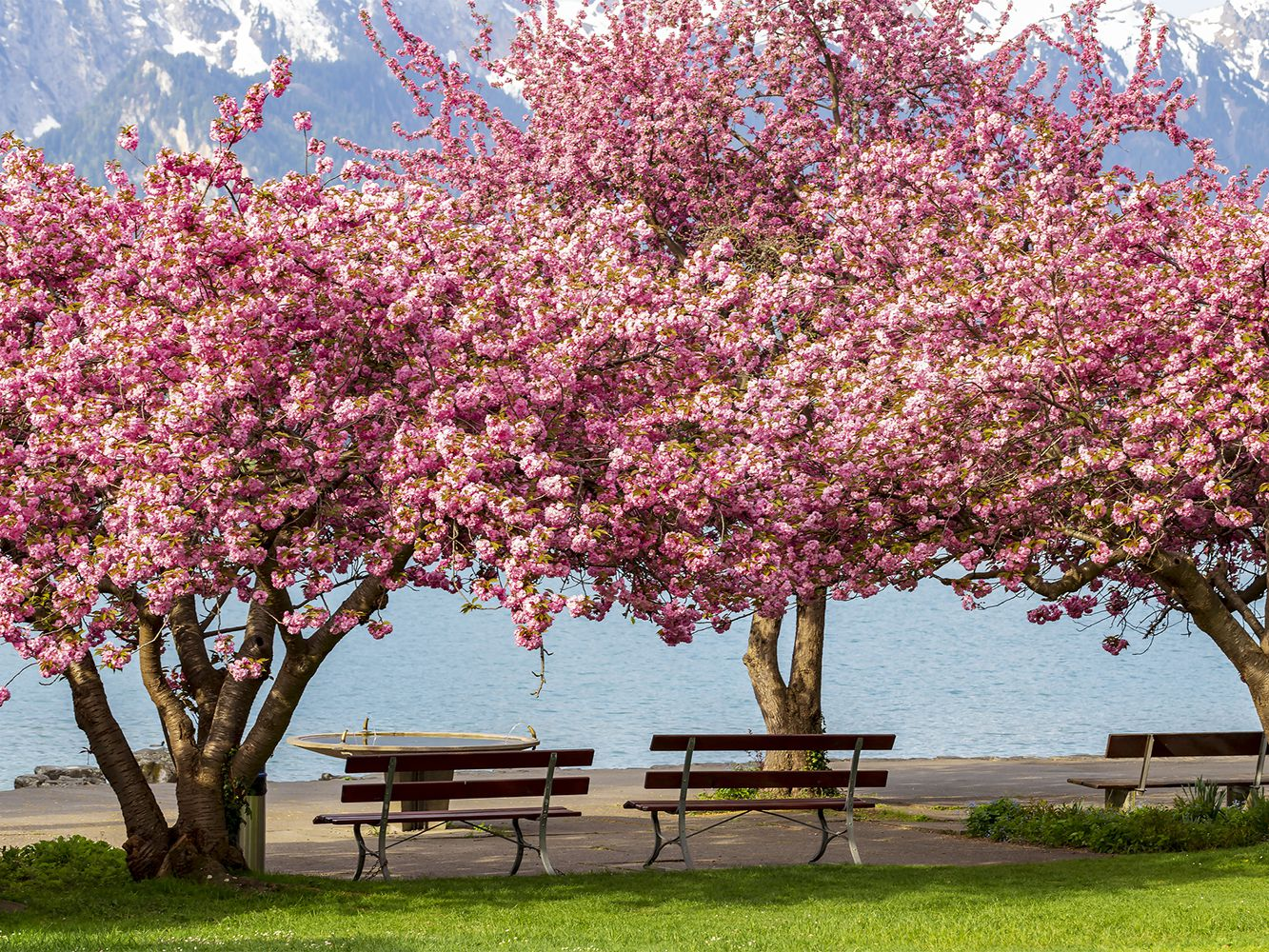 Kwanzan Cherry Tree Profile And Care Instructions