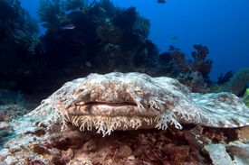 Tasselled wobbegong (eucrossorhinus dasypogon) sitting on a rock on the ocean floor, Indonesia
