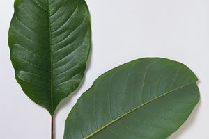 Magnolia dawsoniana (Dawson's magnolia)