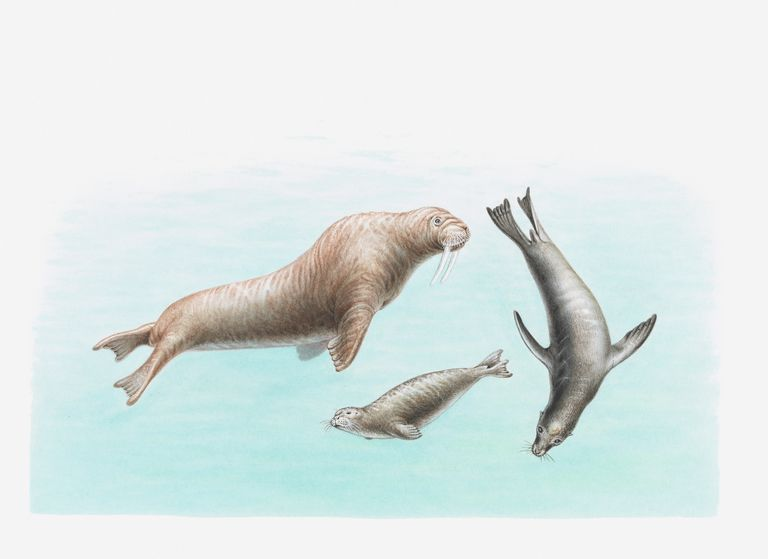 Illustration of walrus, sea lion and seal underwater