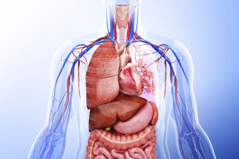 Learn about the organ systems in the human body organ systems consists of groups of organs that function cooperatively in the body pixologicstudioscience photo librarygetty images ccuart Images