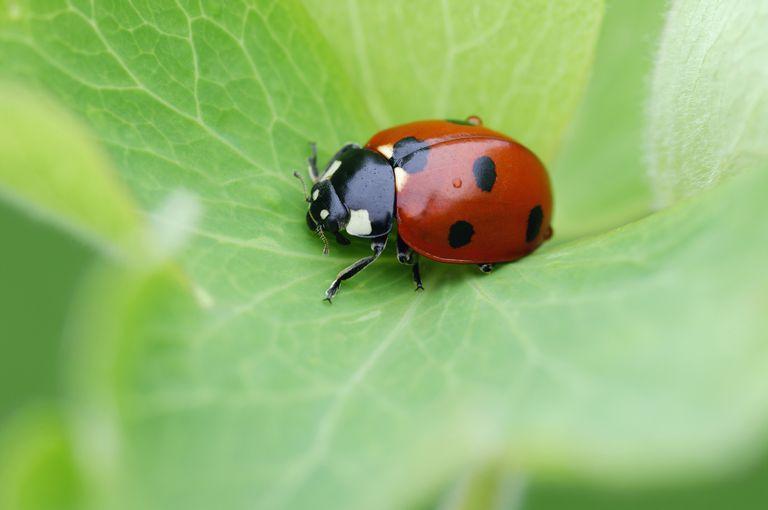 Ladybugs Family Coccinellidae
