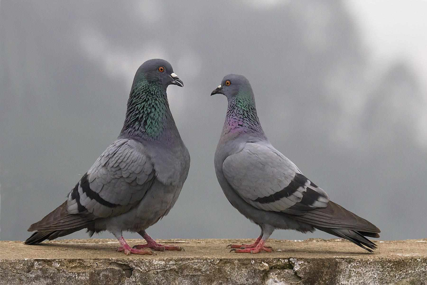 Two pigeons standing on a concrete wall