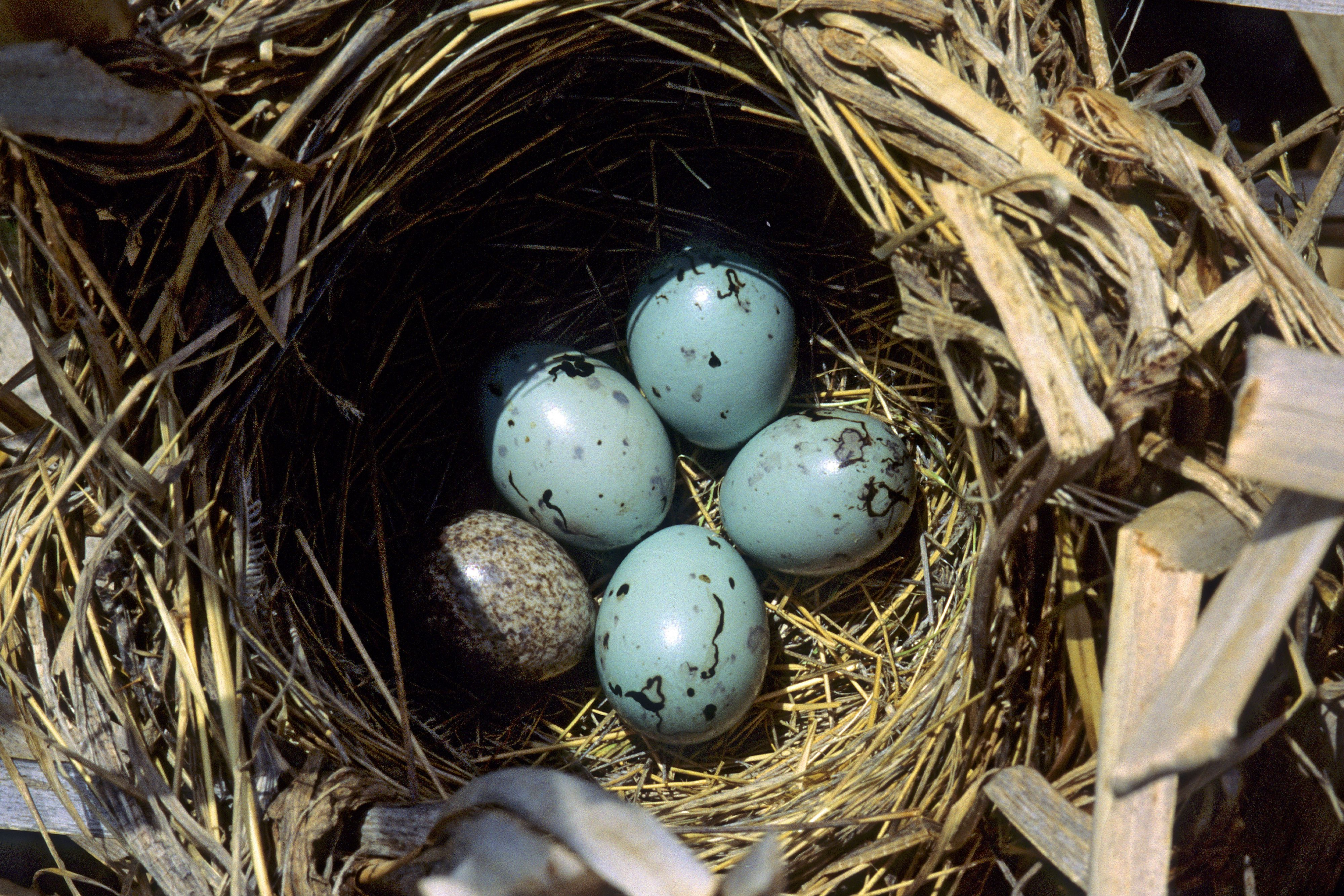 red winged blackbird eggs