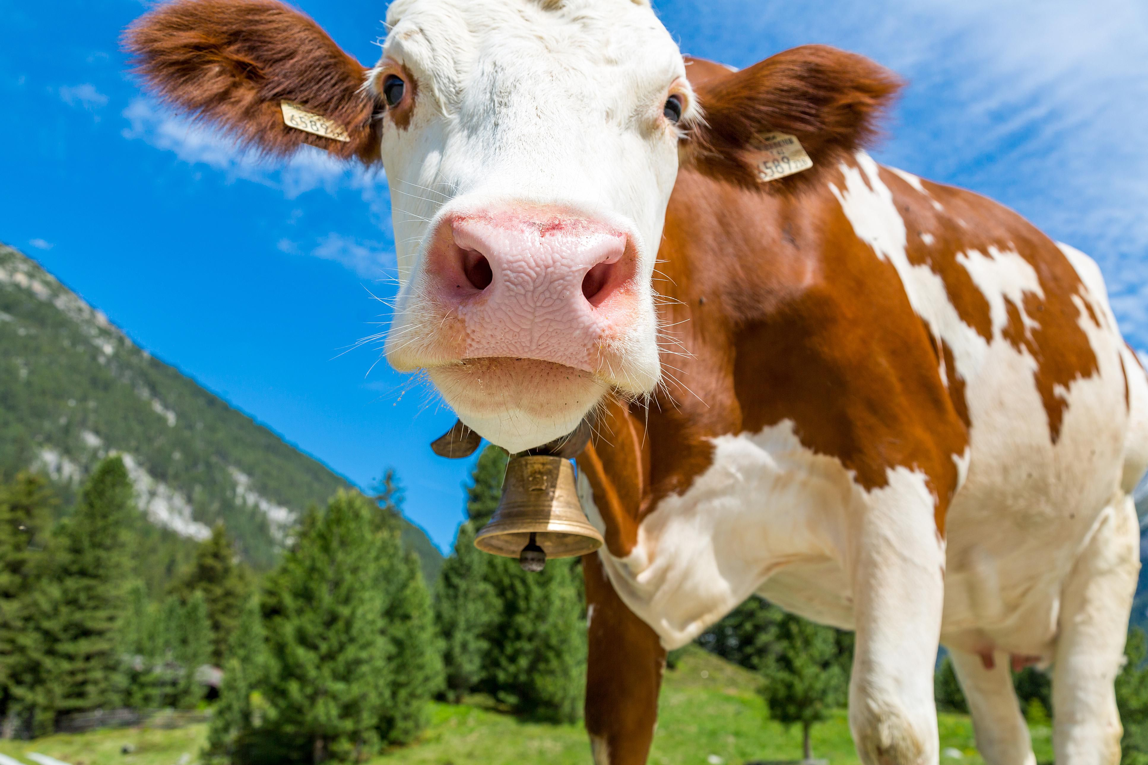 Cattle are a surprisingly significant producer of methane that is released into the atmosphere.