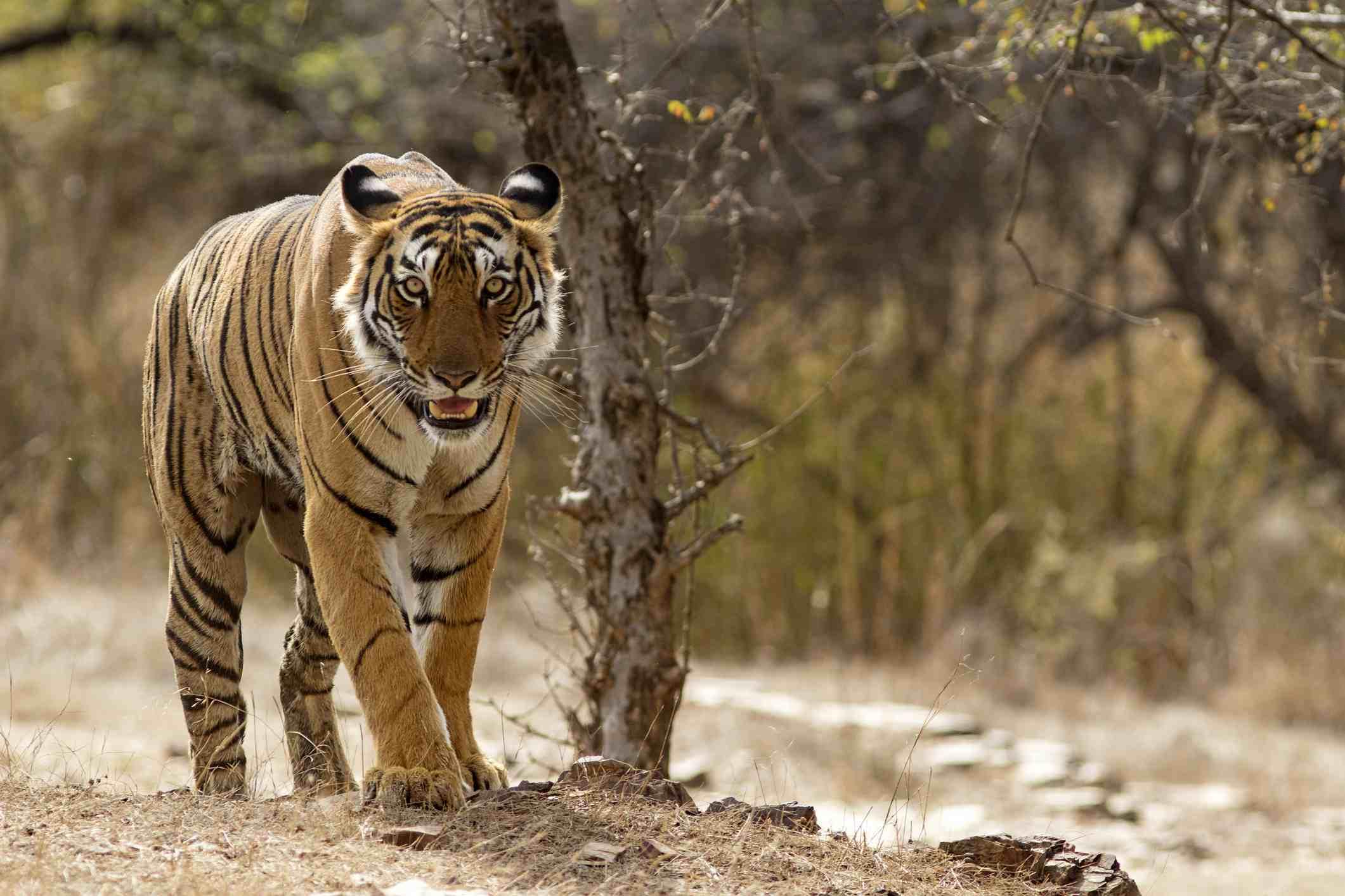 Bengal Tiger at Ranthambhore National Park in Rajasthan, India