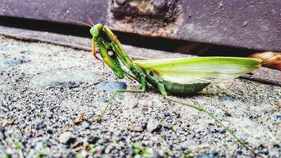 Is Killing a Praying Mantis Illegal?