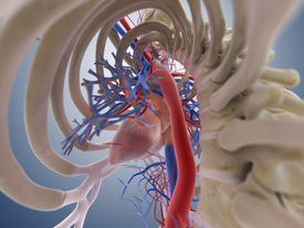 Stylized 3D image of the vena cava leading up to the heart.