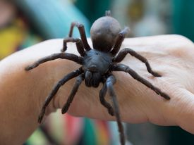 There are many spiders as big as your hand (or even larger).