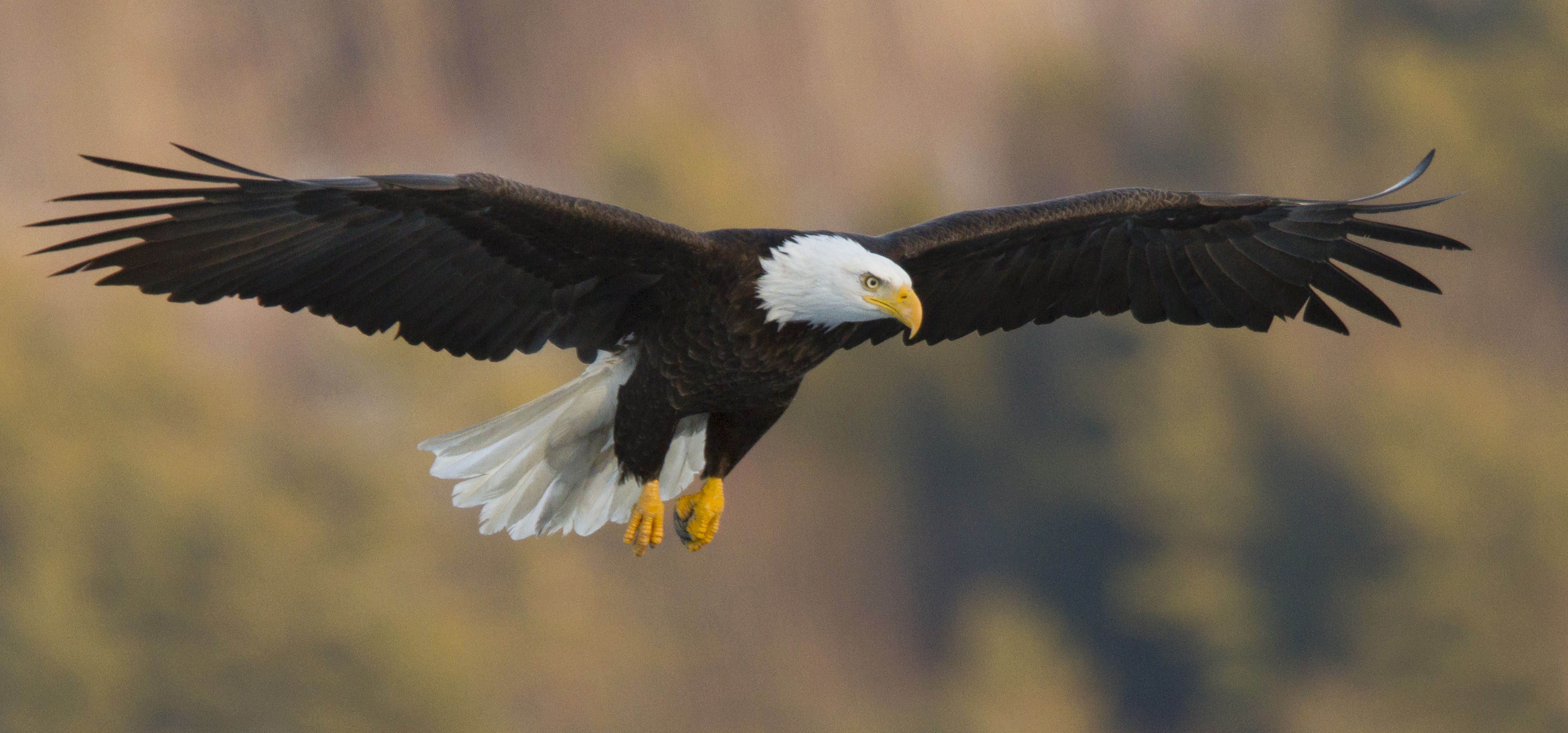 The Eagle Is And Always Has Been A Bird That Fascinates Us It S So Big Powerful Beautiful Soaring Across Sky With Such Ease